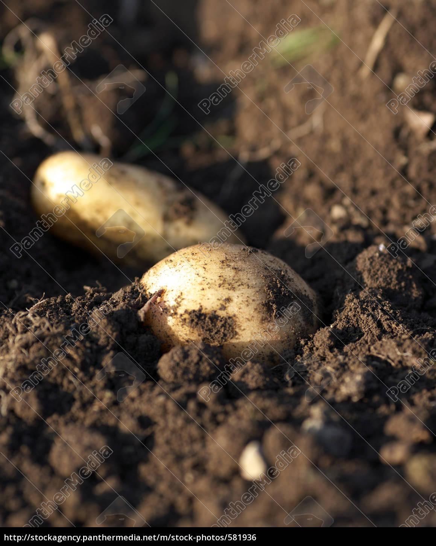 potato - 581936