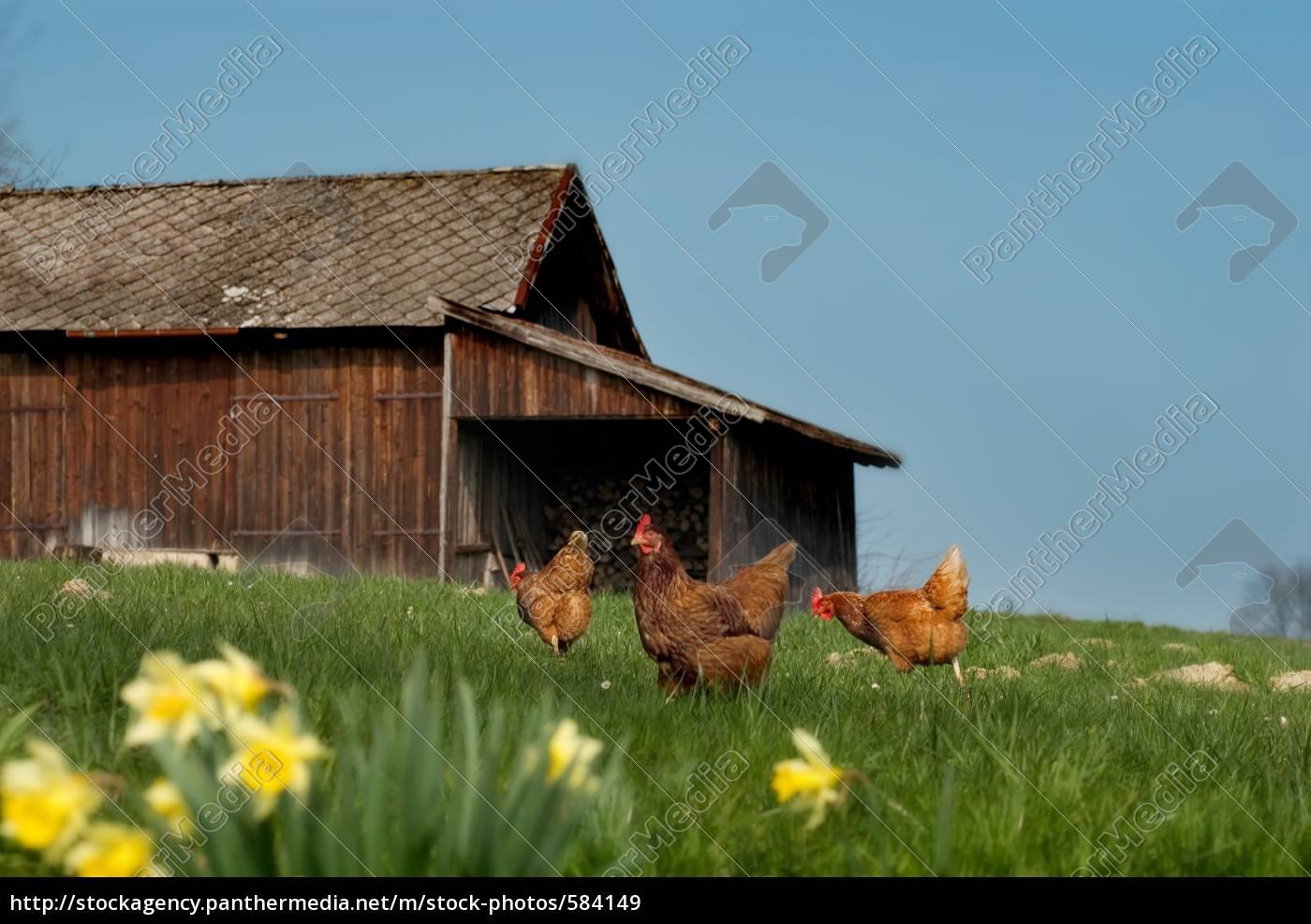 happy, chickens - 584149