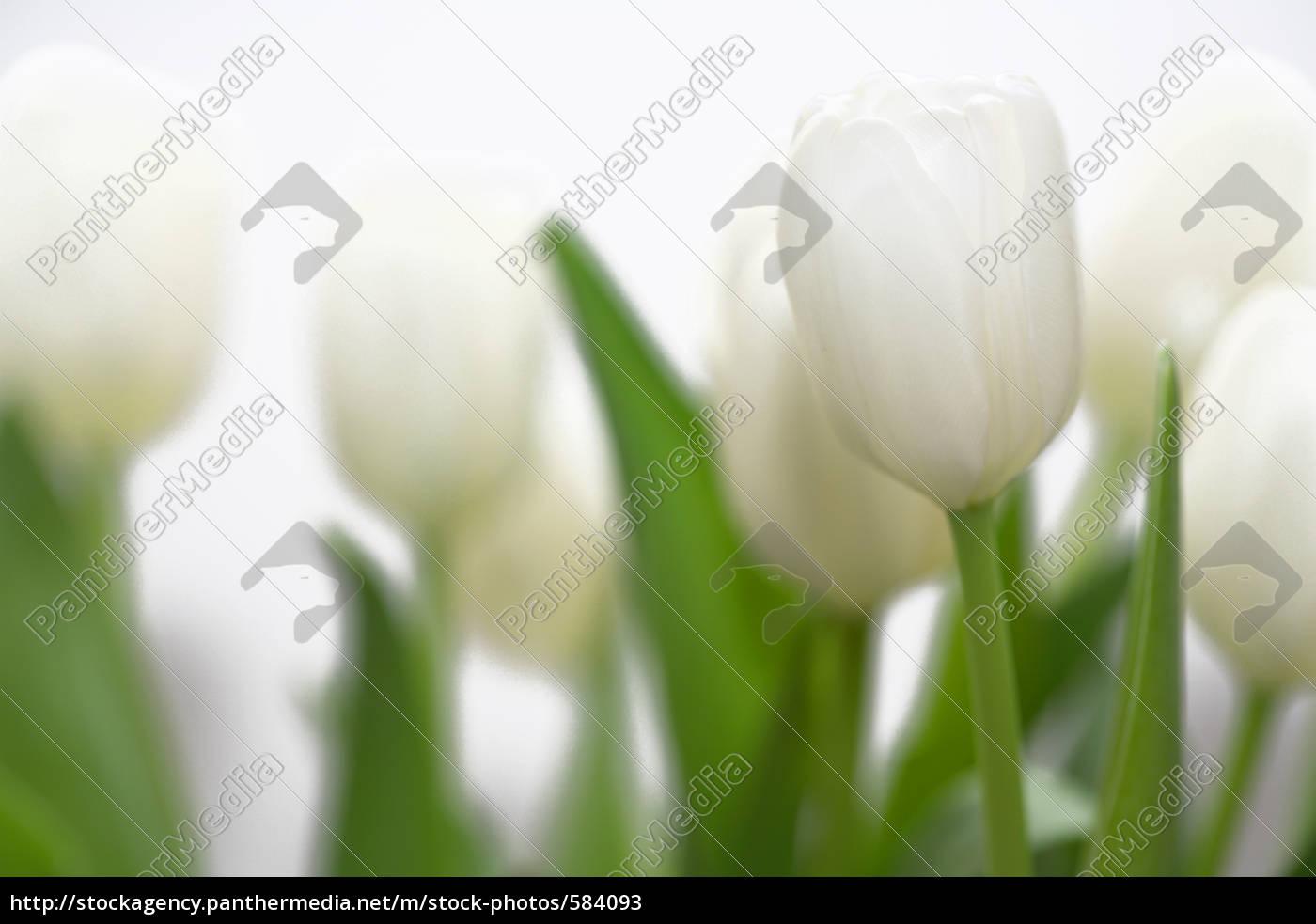 tulips - 584093