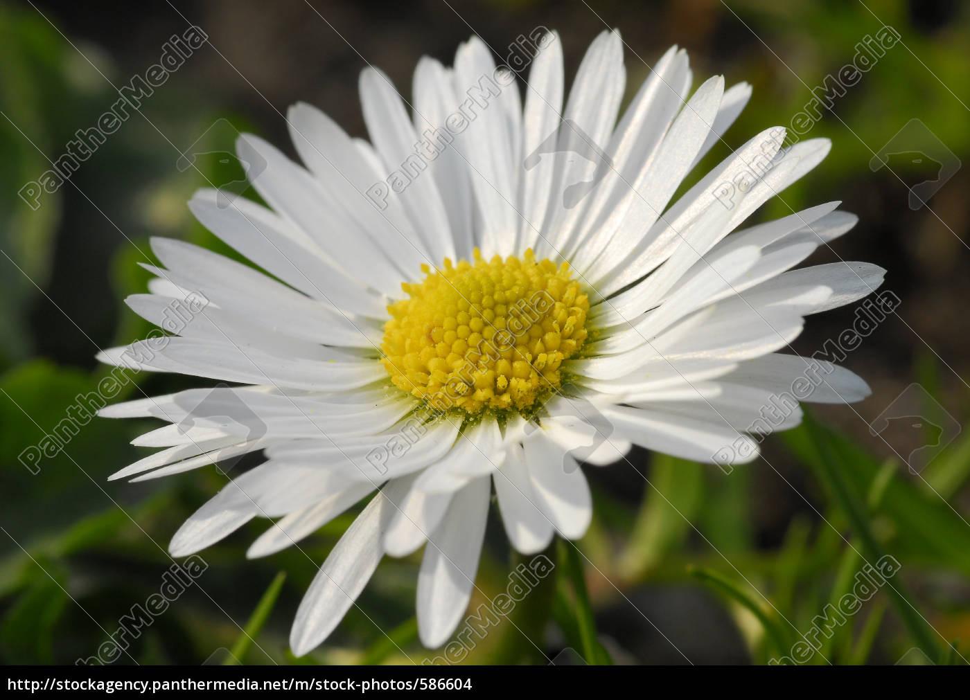 daisy - 586604