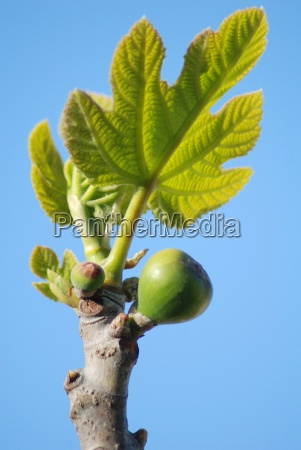 fig, tree - 586936