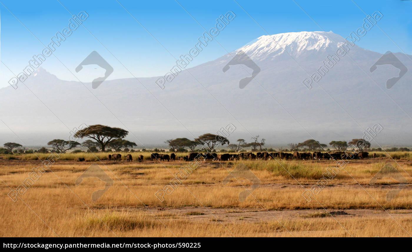 buffalo, vorm, kilimanjaro - 590225