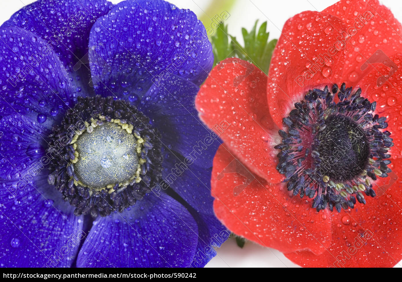 red, and, blue, anemone, with, water - 590242