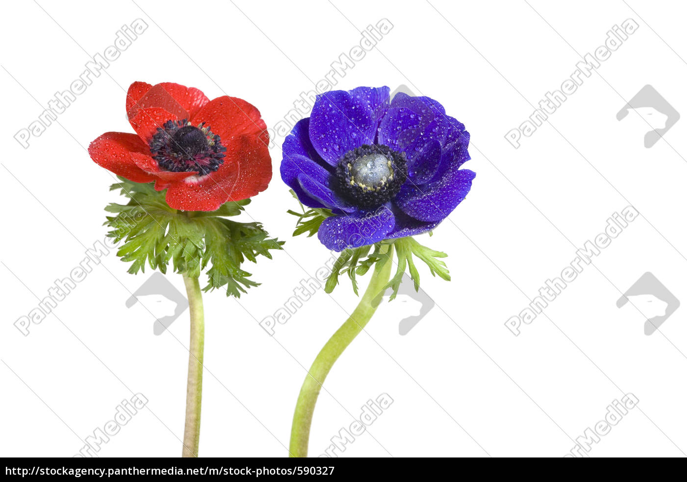 red, and, blue, anemone - 590327