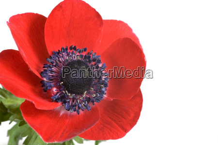 red, anemone - 590442