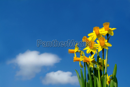 daffodils - 592674