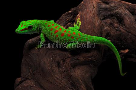 madagascar, day, gecko - 596989
