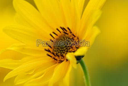 marigold - 597604