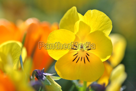 pansy - 599350