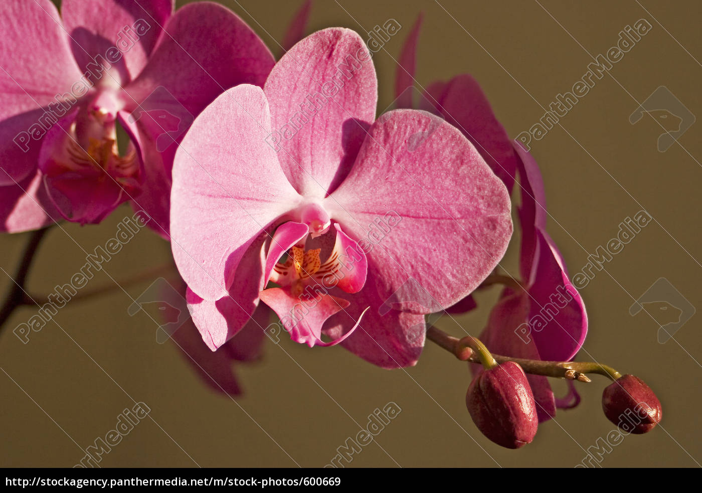 orchid - 600669