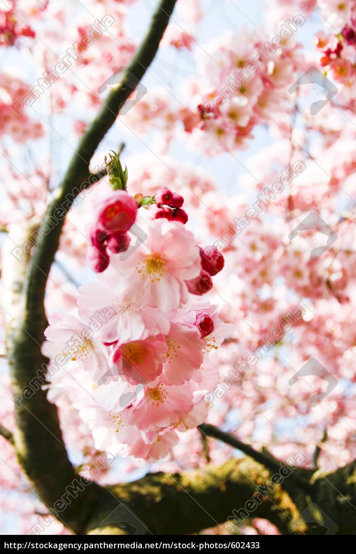 pink, cherry, blossom - 602433