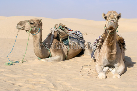 camels, in, the, sahara - 603826