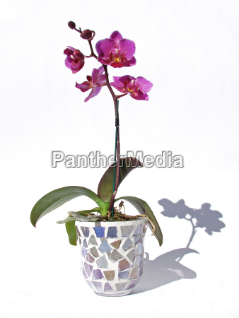 orchid - 605463