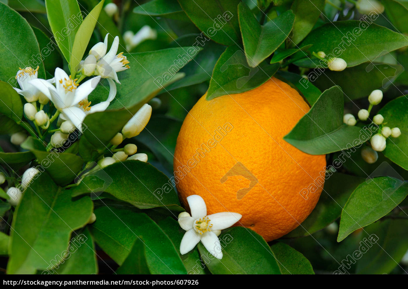 orange, blossoms, and, orange, on, the - 607926