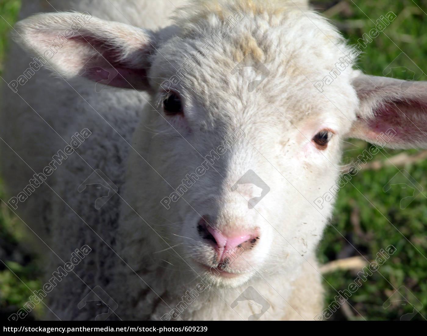 lamb, bruno - 609239