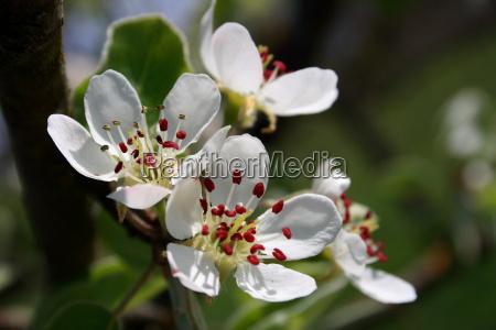 pear, blossom - 611992