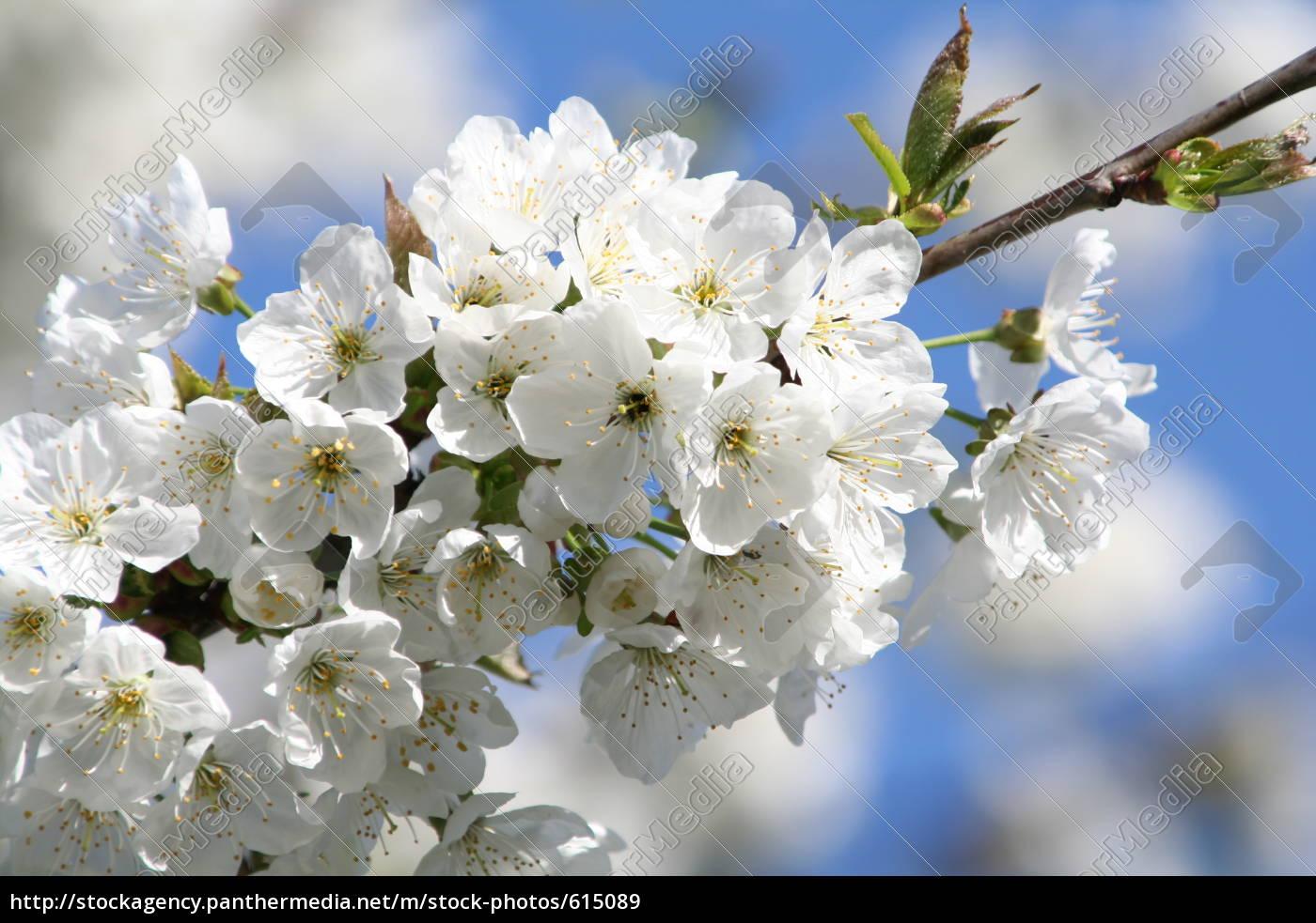 cherry, blossoms - 615089