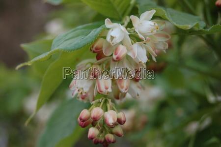staphylea, pinnata - 617216