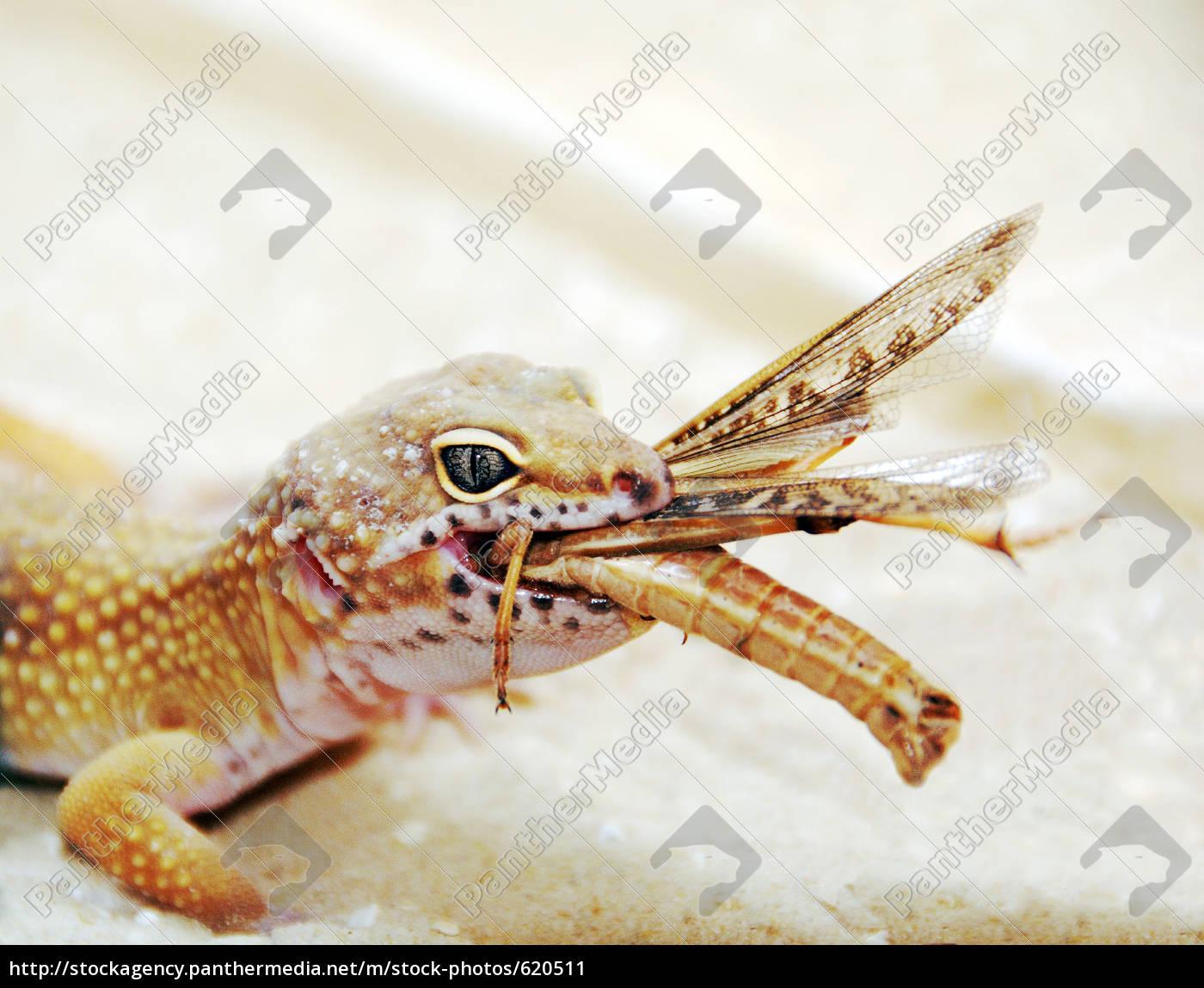 leopard, gecko, during, feeding - 620511