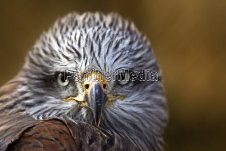 portrait raptor birds of prey wing