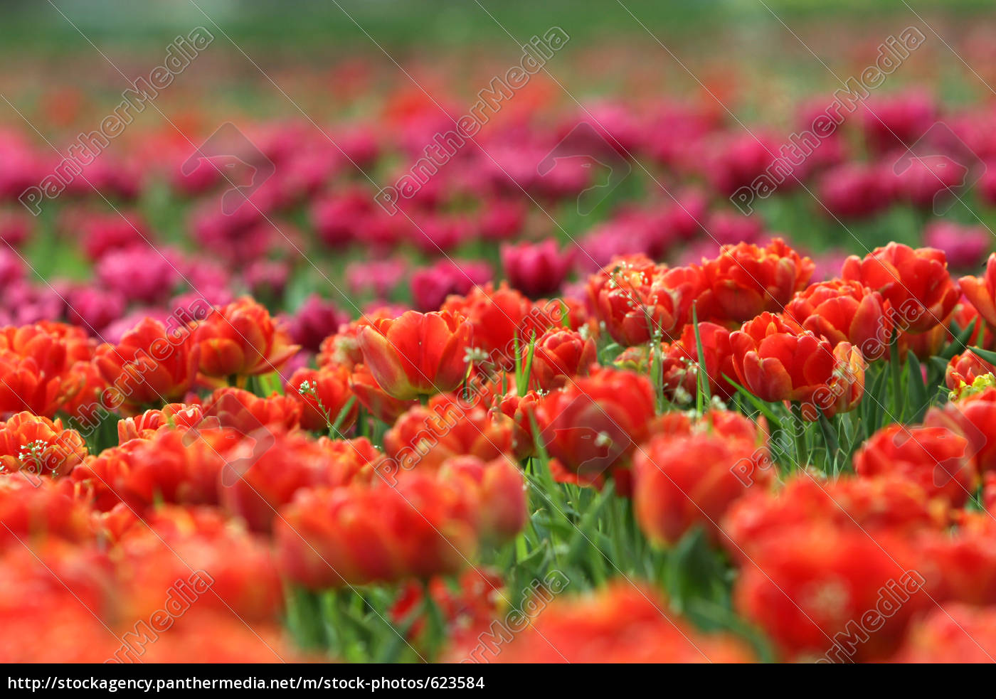 red, and, purple, tulips - 623584