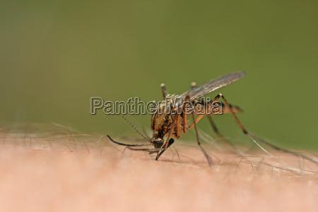 mosquito bite iv