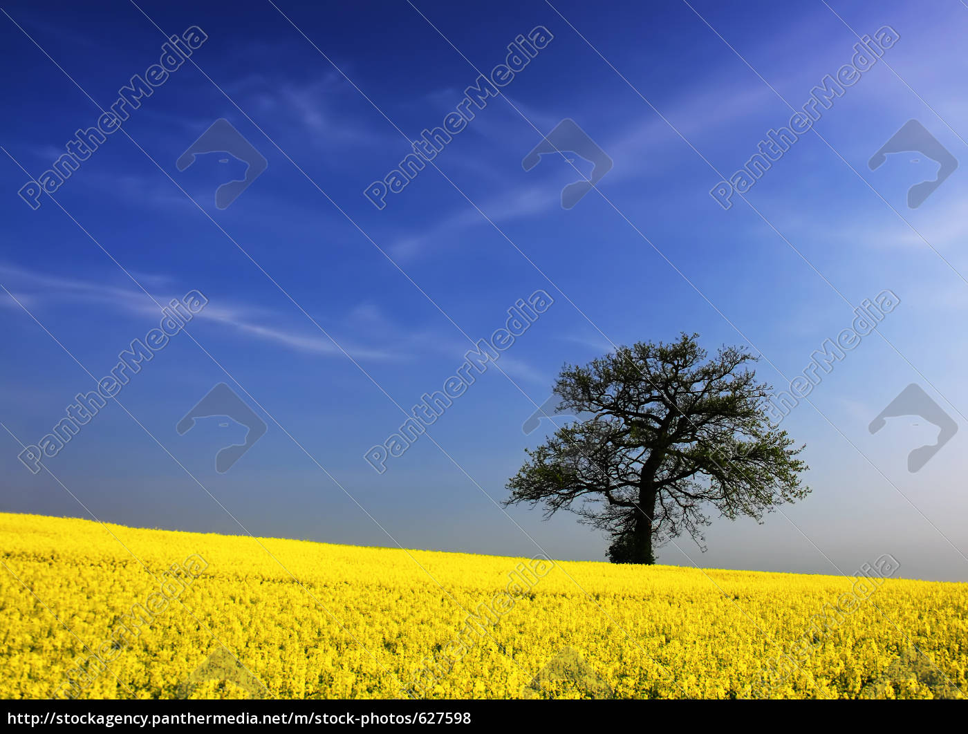 oak, tree, in, canola, field - 627598