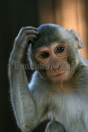 rhesus, monkey - 627842