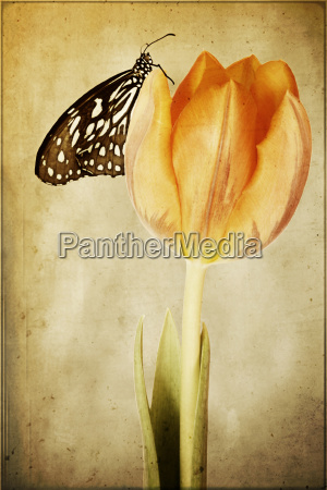 butterfly, on, tulip - 629186