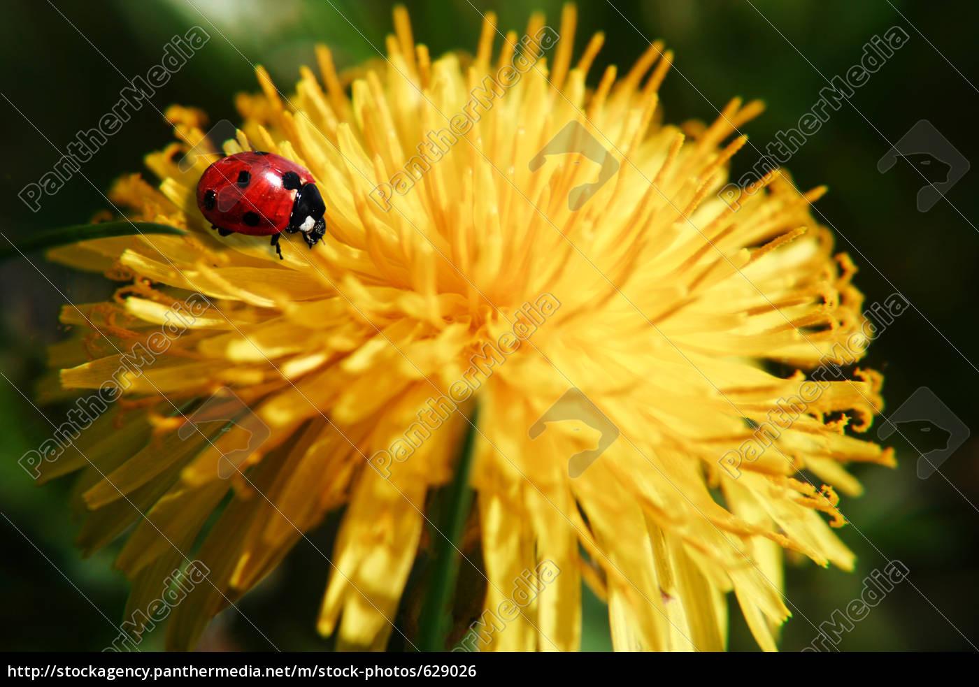 ladybug, on, dandelion - 629026