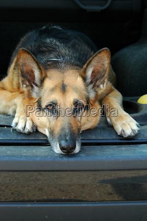 shepherd, dog, in, the, car - 629983