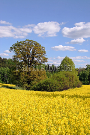 glade and canola field with oak