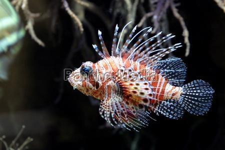 feuerfisch - 632891