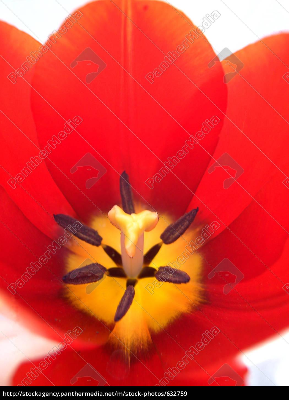 tulip, 5 - 632759