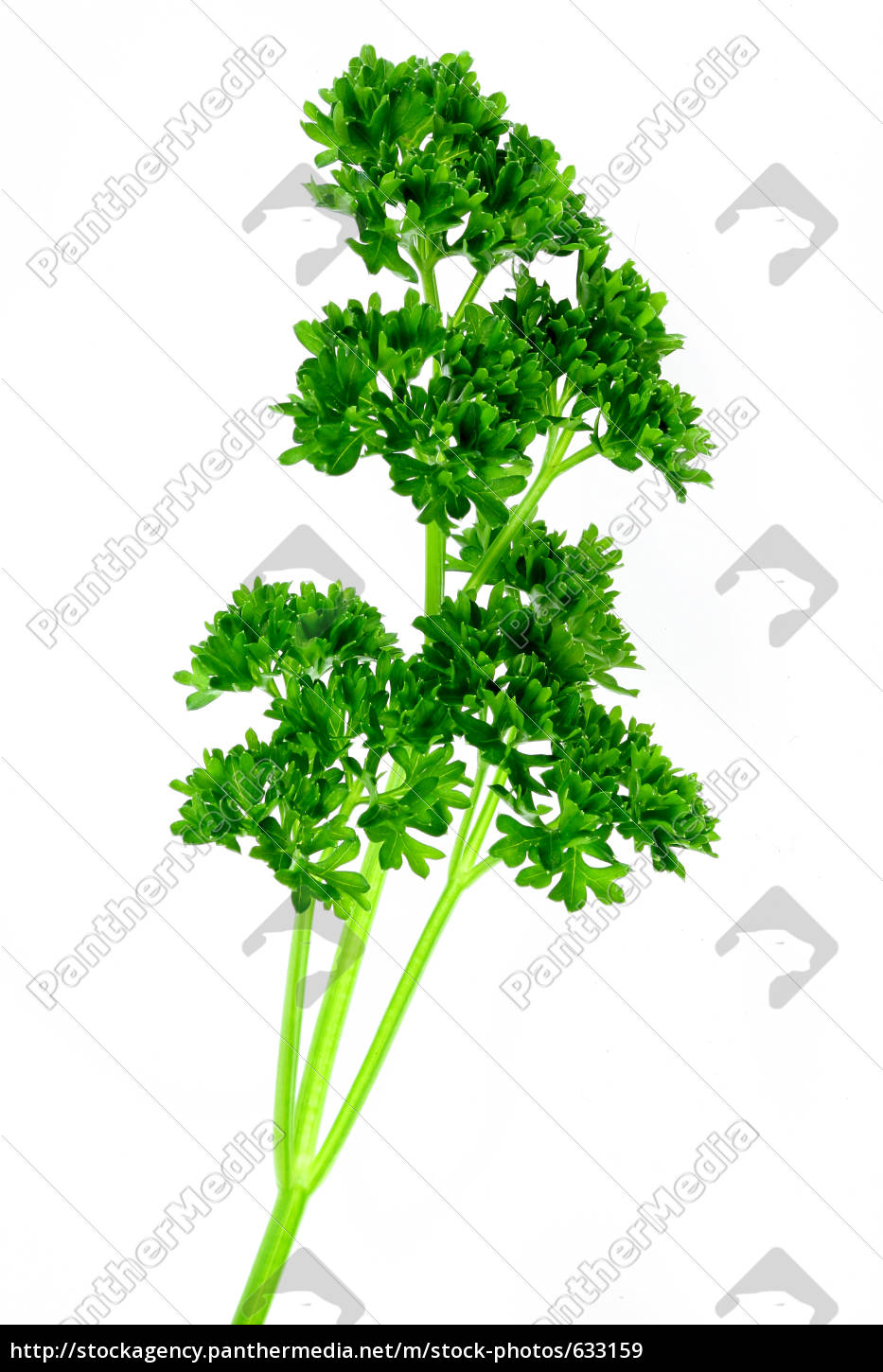parsley - 633159