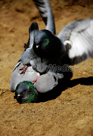 attack, of, the, killer, pigeons - 638137