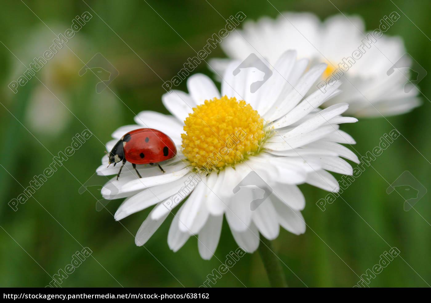 daisy - 638162