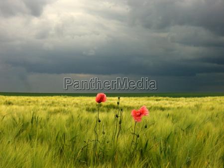 corn poppy in gerstenfeld