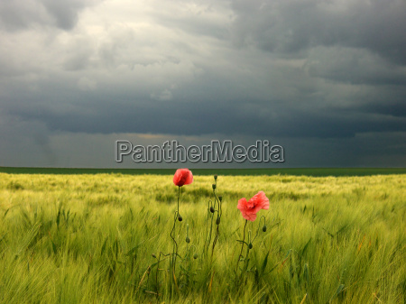 corn, poppy, in, gerstenfeld - 644475