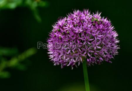 purple, sensation - 644106