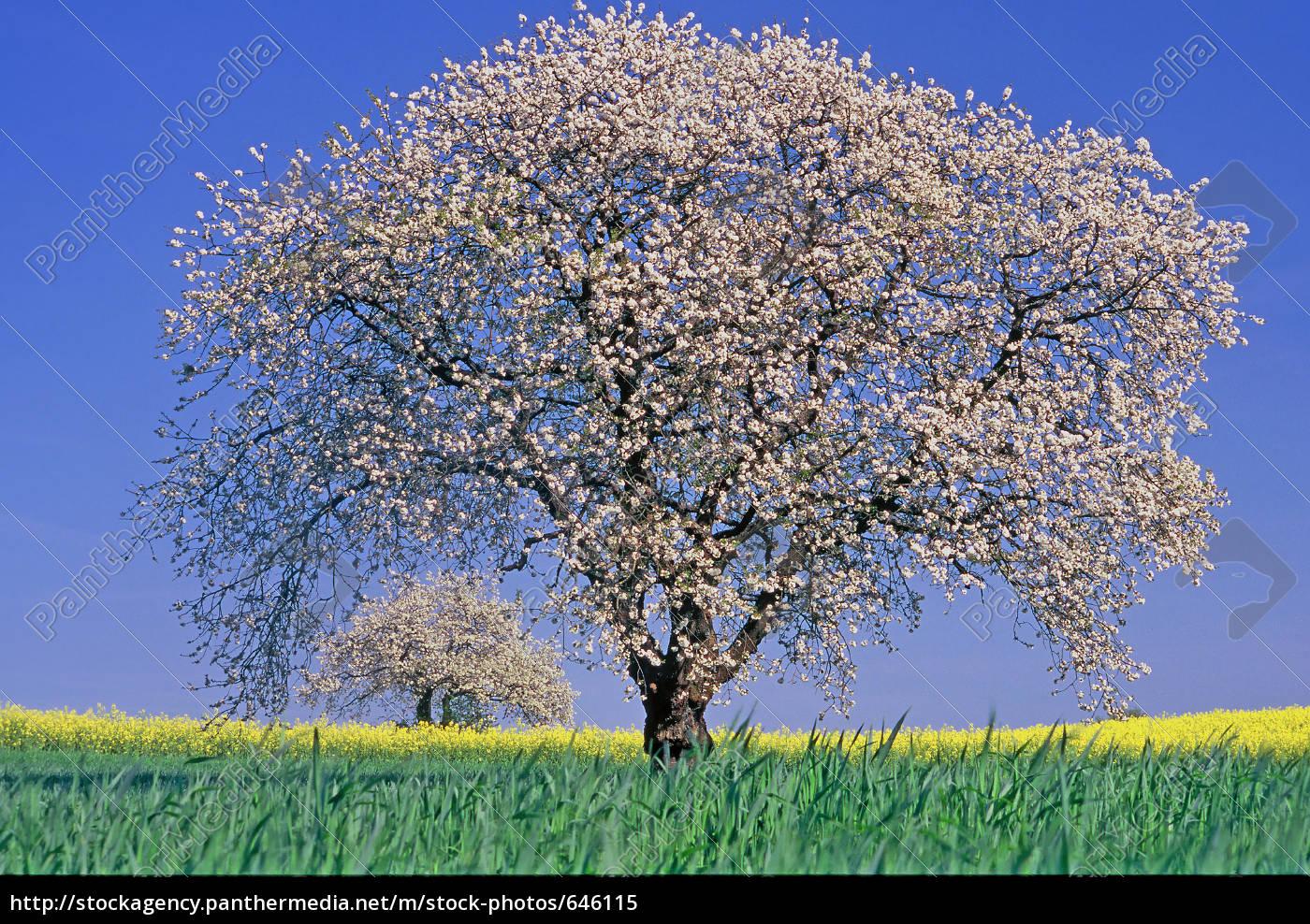 apple, trees - 646115