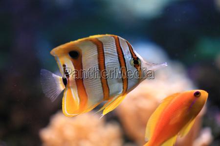 tweezerfish