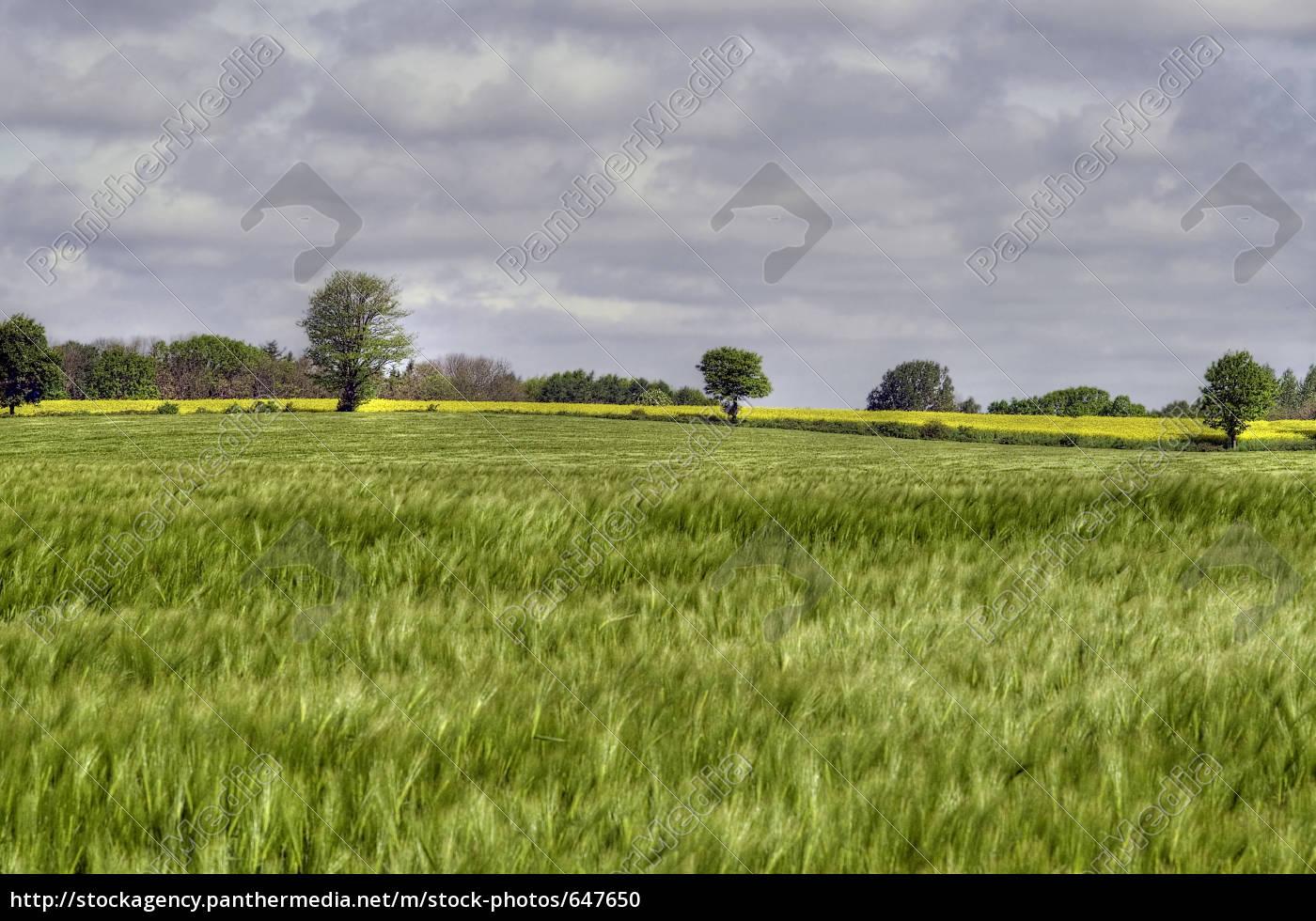 cornfield - 647650