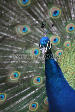 blue, peacock - 648712