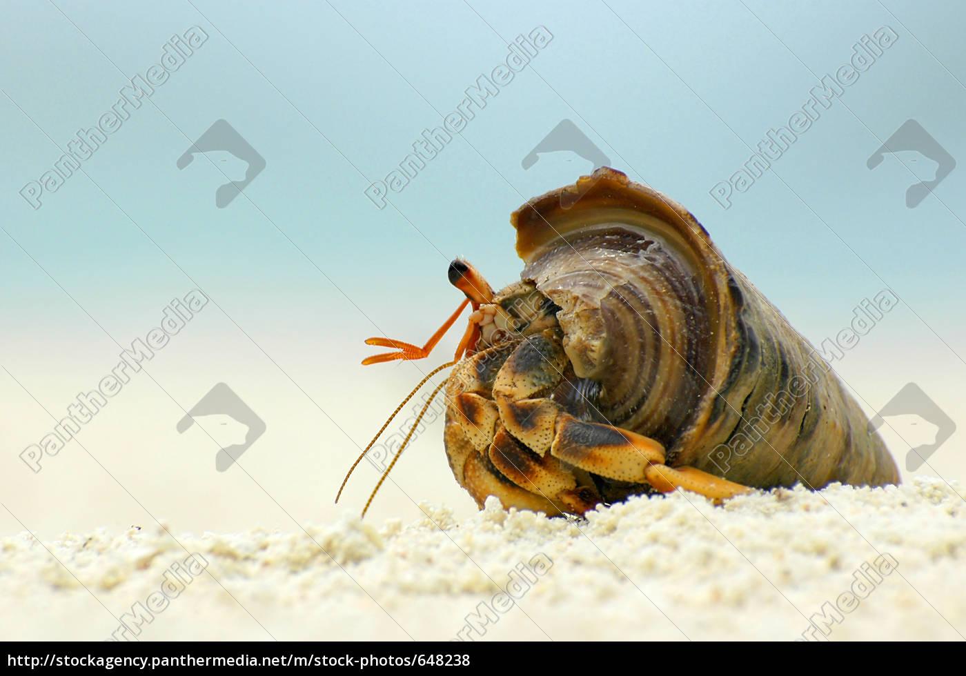 hermit, crab - 648238