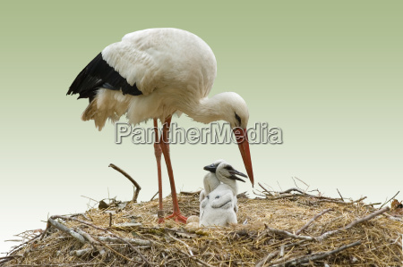 storch, and, storchenjunge - 648585
