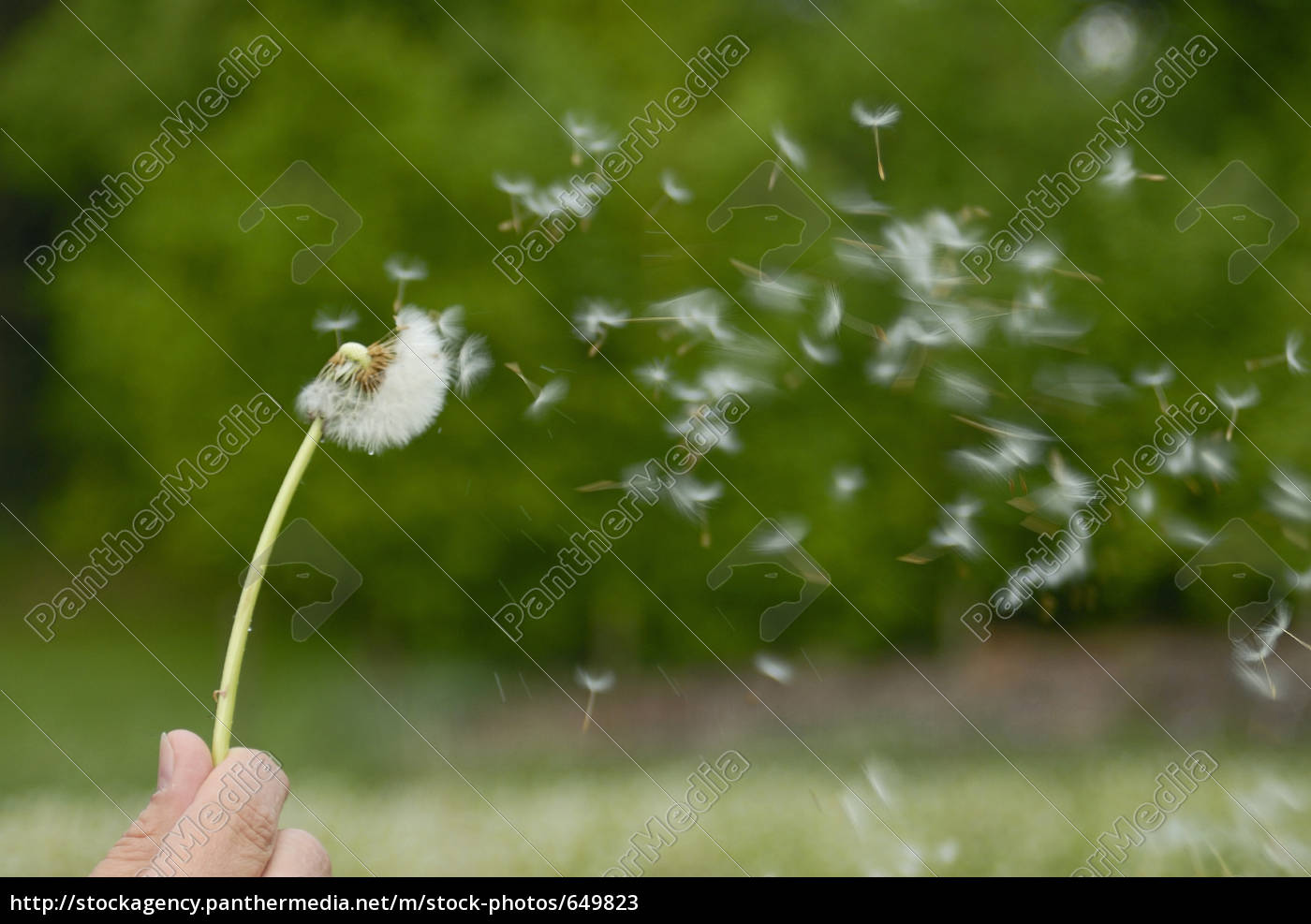 dandelion, seeds, flying - 649823