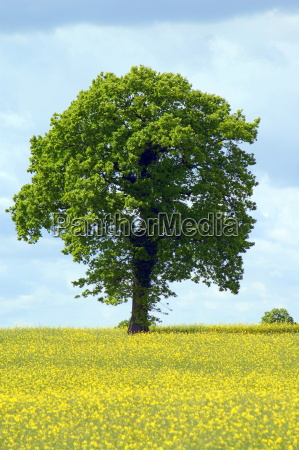 tree, in, oilseed, rape - 649000