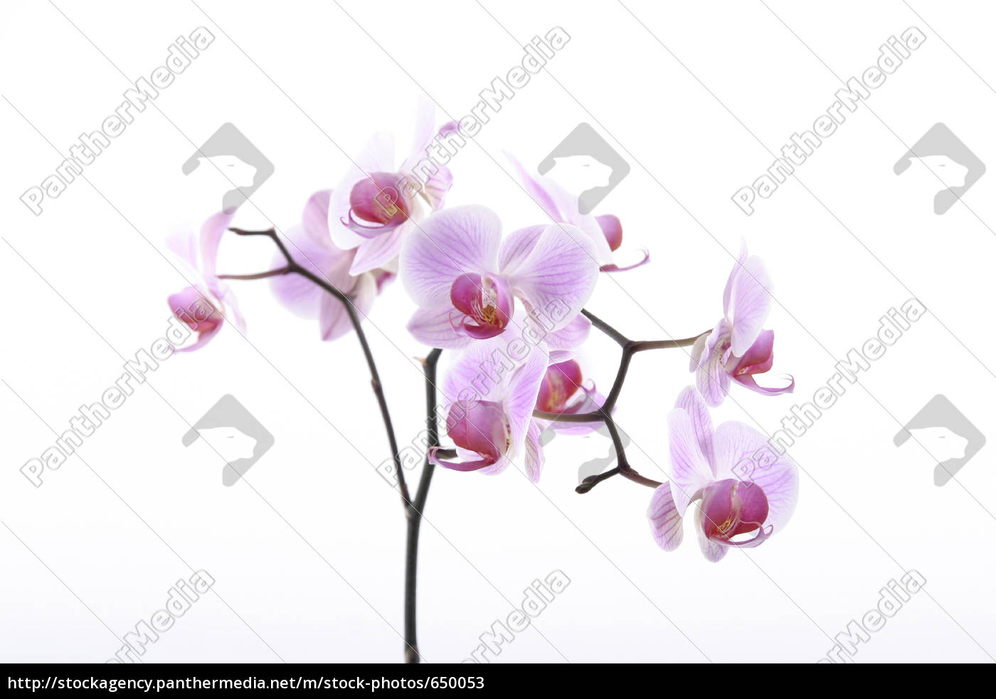 orchid - 650053