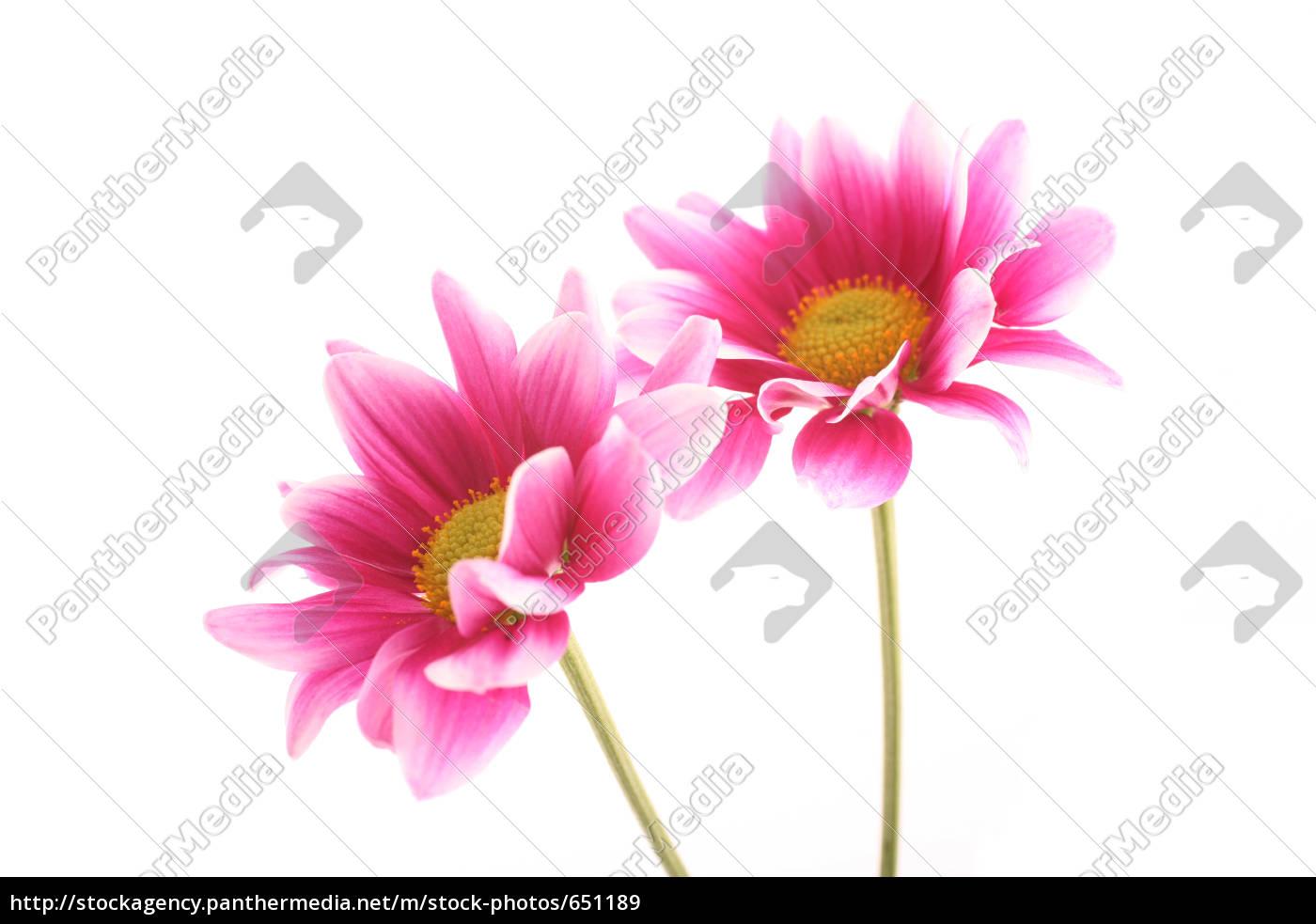 chrysanthemum, (chrysanthemum) - 651189